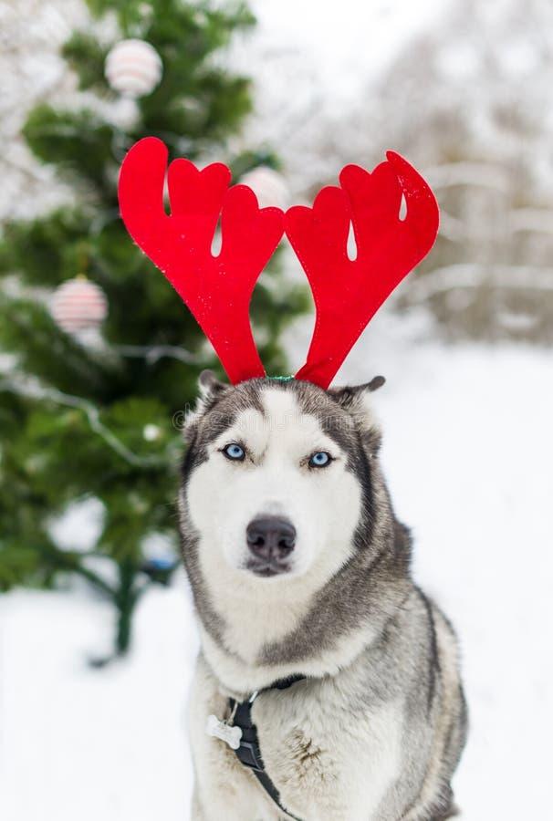 Сиплая собака с рожками северного оленя рождества на фоне рождественской елки стоковые изображения rf