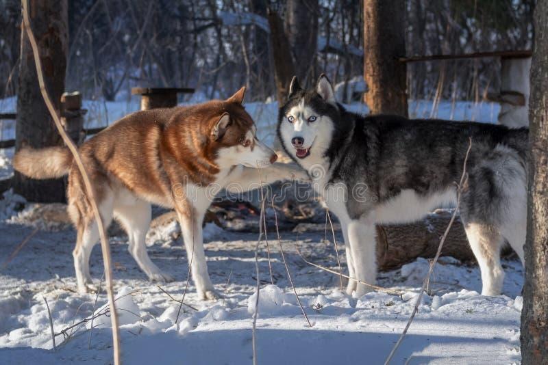 Сиплые собаки играя в собаке леса зимы сибирской сиплой касаются другой собаке приглашая для игры стоковое изображение