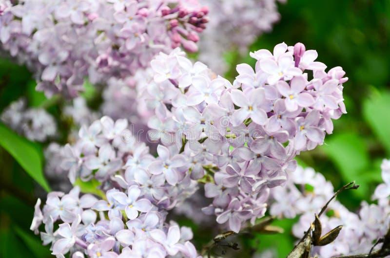 Сирени ветви весны зацветая Цвести пурпурные сирени весной Селективный мягкий фокус, малая глубина поля Backgr весны стоковые изображения