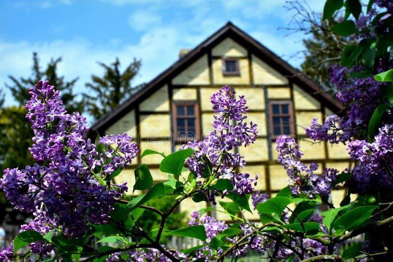 Сирени зацветая старым домом стоковые изображения rf