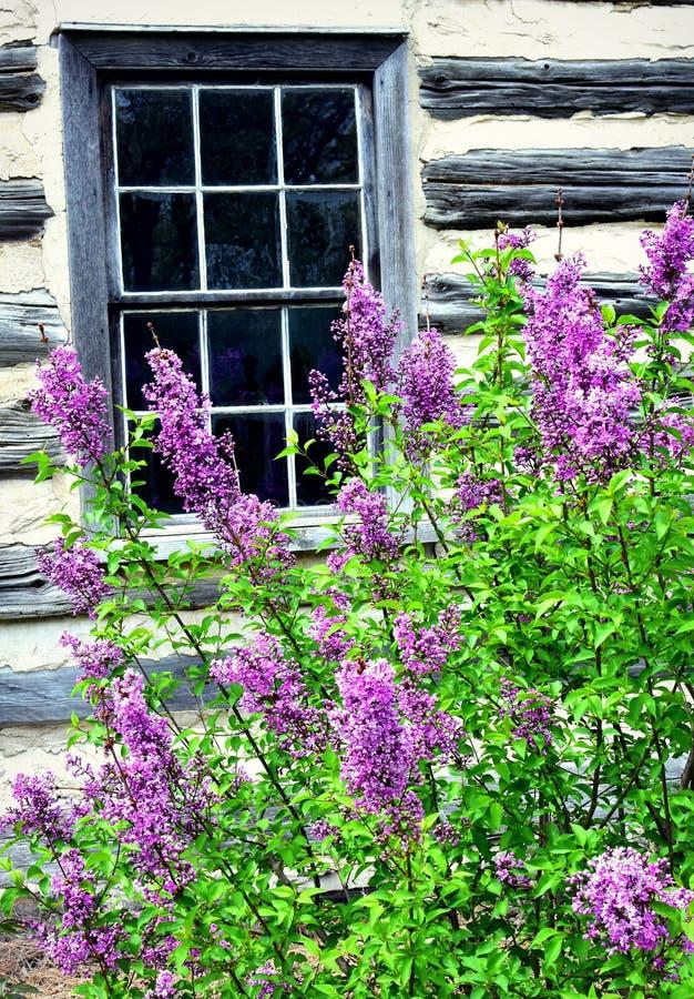 Сирени окном стоковая фотография rf