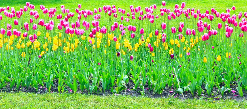 Сирень и желтые тюльпаны на цветнике just rained стоковая фотография