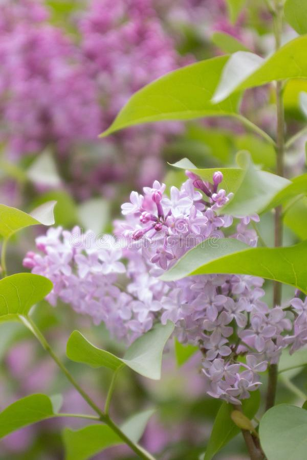 Сирень сирени Весна, июнь зацветая валы стоковое фото