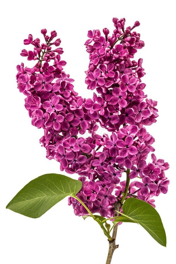 Сирень хворостины фиолетовая, Syringa vulgaris, изолированная на белом backgroun стоковое фото rf