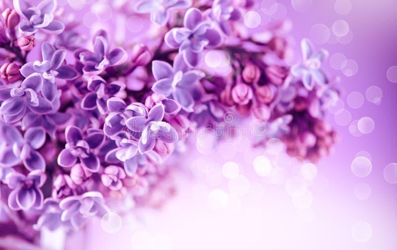 Сирень цветет предпосылка дизайна искусства пука фиолетовая Красивый фиолетовый крупный план цветков сирени стоковое фото rf