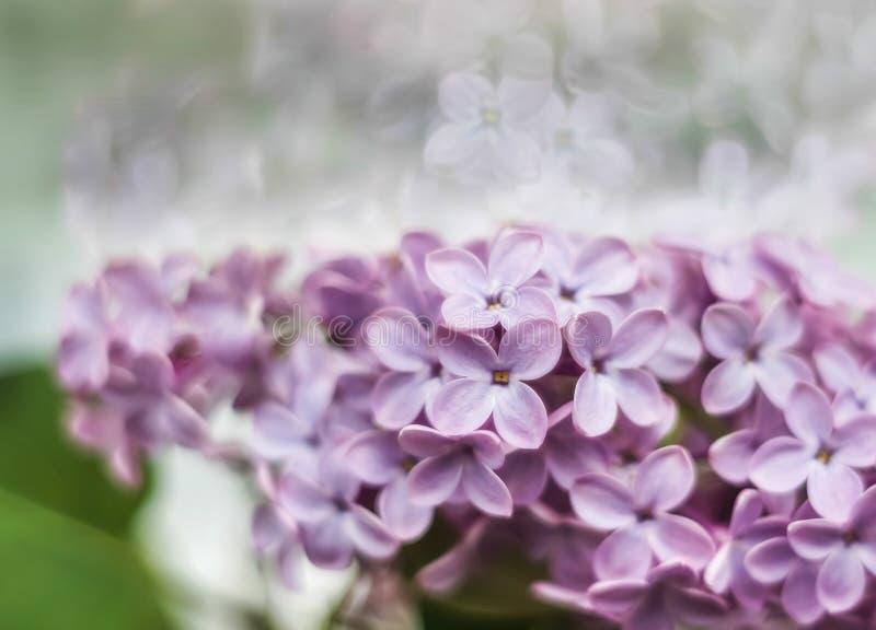 Download Сирень стоковое изображение. изображение насчитывающей пурпурово - 40585643