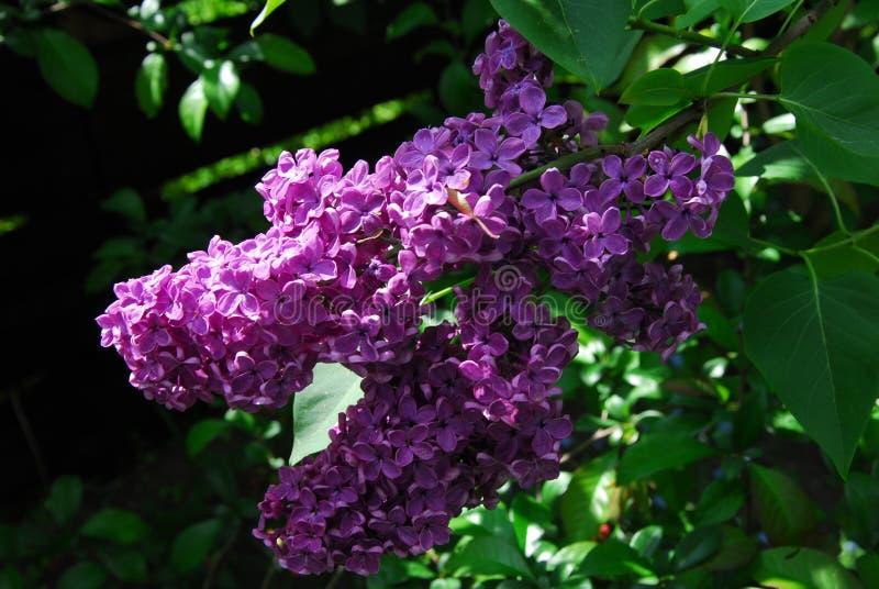 Сирень, syringa vulgaris, elderflower стоковая фотография