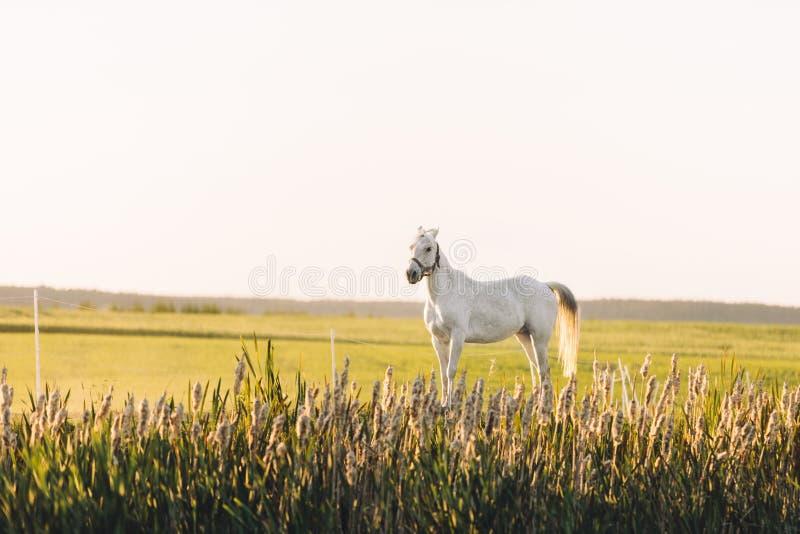 Сиротливая белая лошадь стоя на зеленом поле стоковое изображение rf