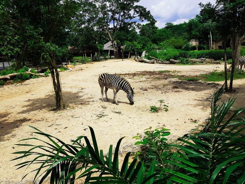 Сиротливая зебра на тайском зоопарке стоковое фото