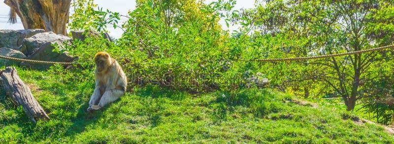 Сиротливая коричневая оранжевая обезьяна сидя вниз самостоятельно в пробуренном представлении стоковая фотография rf