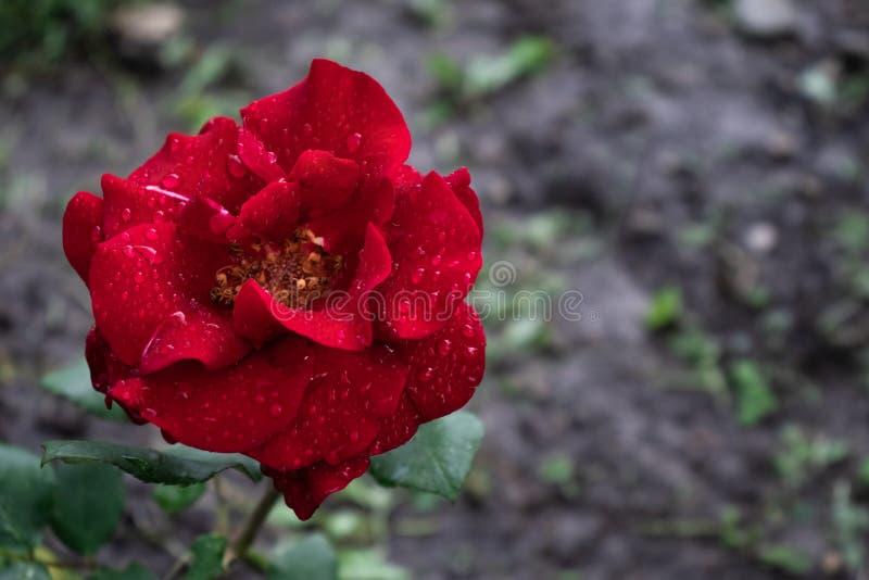 Сиротливая красная роза предусматриванная с падениями росы стоковая фотография rf