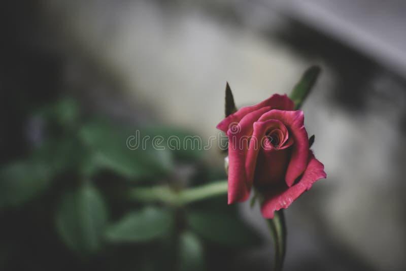 Сиротливая роза в поле стоковая фотография