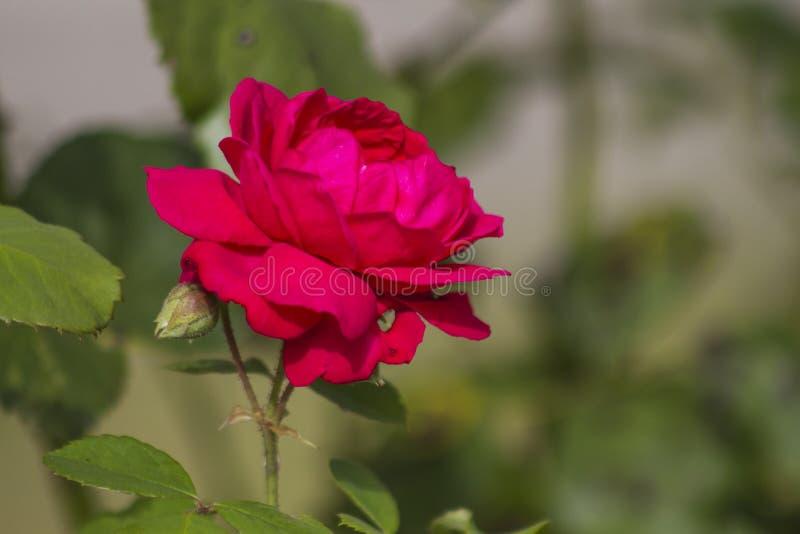 Сиротливая роза в саде стоковые фото