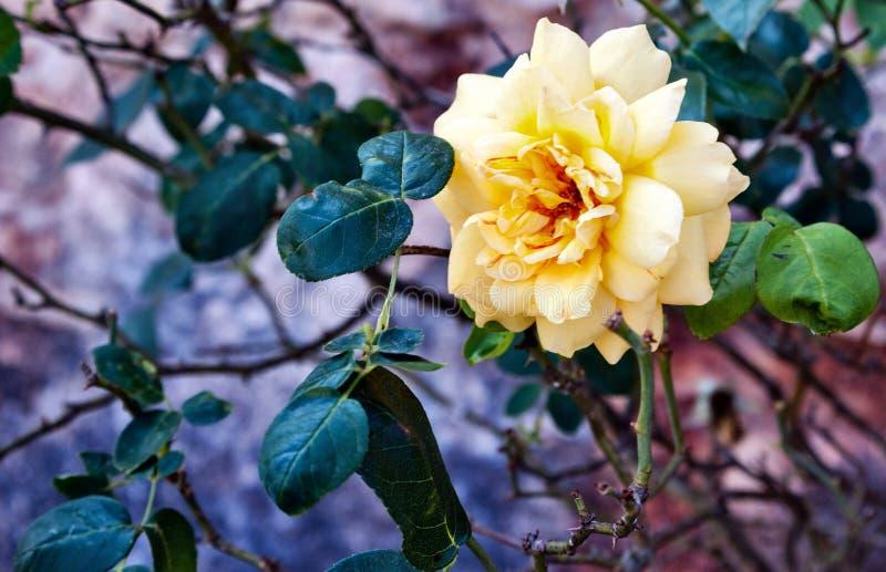 Сиротливая роза желтого цвета стоковые фотографии rf