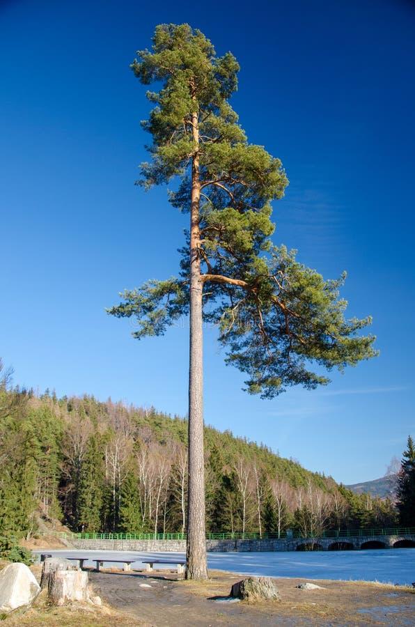 Сиротливая сосна на предпосылке леса горы с синью стоковое изображение rf
