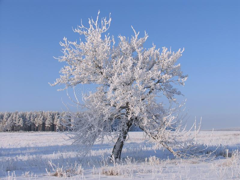 Сиротливое дерево в заморозке стоковые изображения