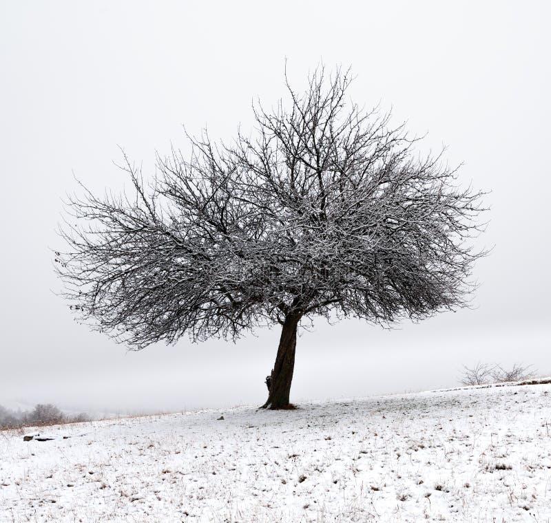 Сиротливое дерево в зиме свежего снега предыдущей стоковые фото