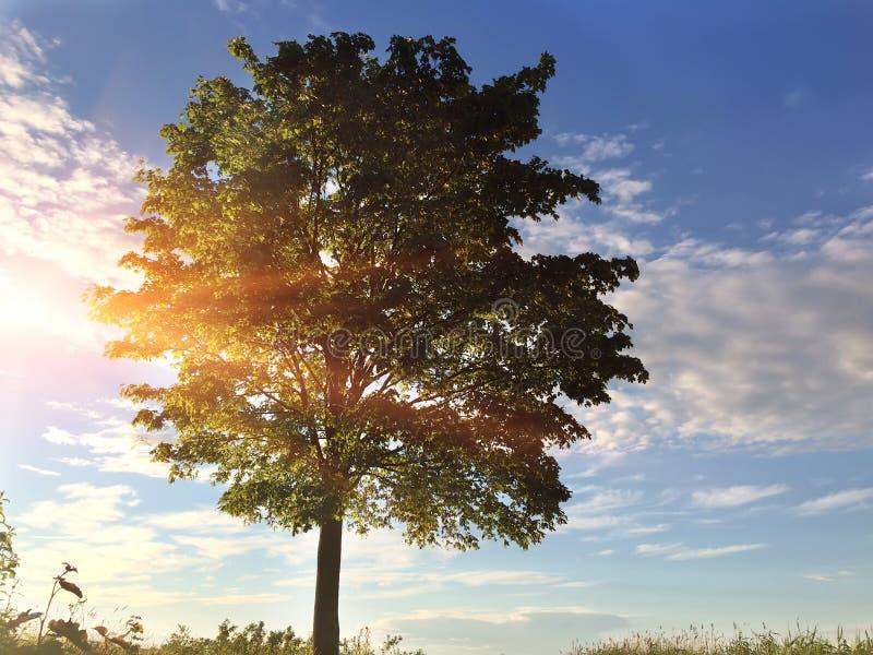 Сиротливое дерево в поле на заходе солнца и небе с красивыми облаками стоковая фотография