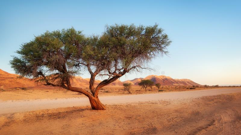 Сиротливое дерево в пустыне Namib принятой в январе 2018 стоковая фотография