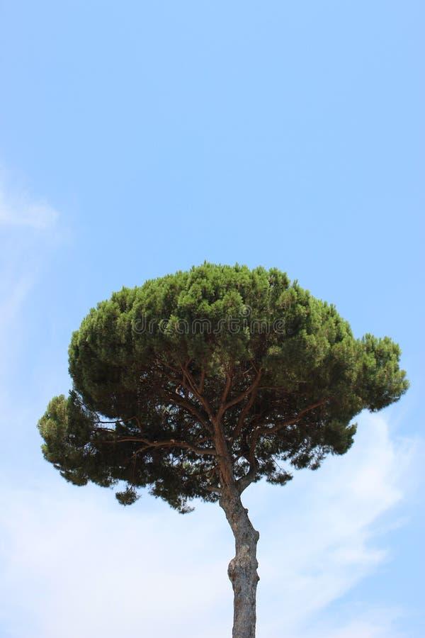Сиротливое дерево на итальянских улицах Рима стоковая фотография rf