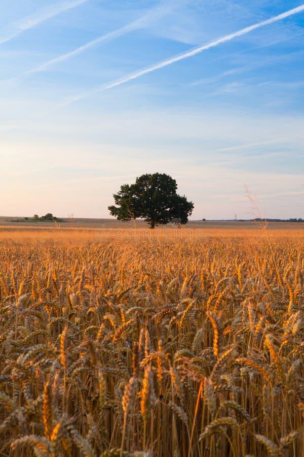 Сиротливое дерево на кукурузном поле стоковая фотография