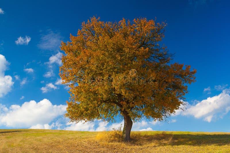 Сиротливое дерево на луге в осени, стоковое изображение