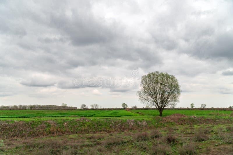Сиротливое дерево на поле фермы весной стоковые изображения