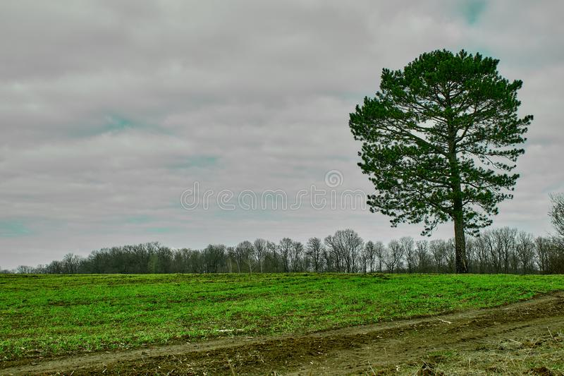 Сиротливое дерево хвои на зеленом поле весны стоковая фотография