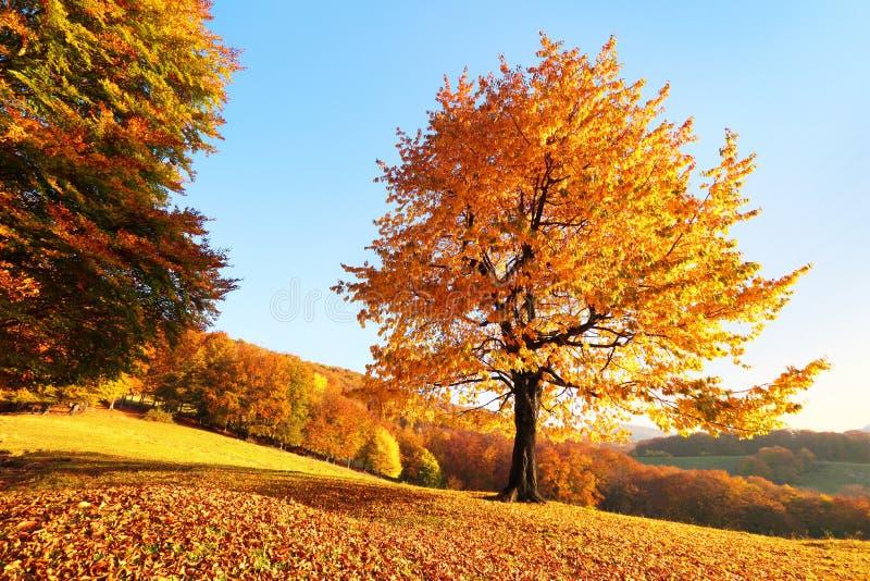 Сиротливое сочное дерево на лужайке покрытой с оранжевыми листьями через которые лучи солнца светят Пейзаж осени сельский стоковое изображение