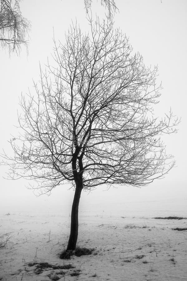 Сиротливое стоящее дерево в зиме в раннем утре стоковые изображения rf