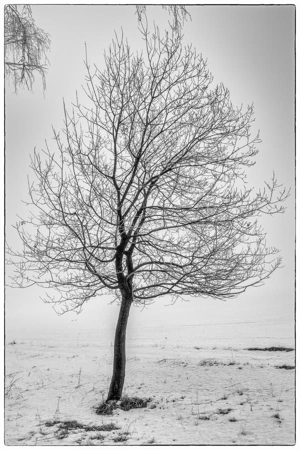 Сиротливое стоящее дерево в зиме в раннем утре стоковая фотография rf