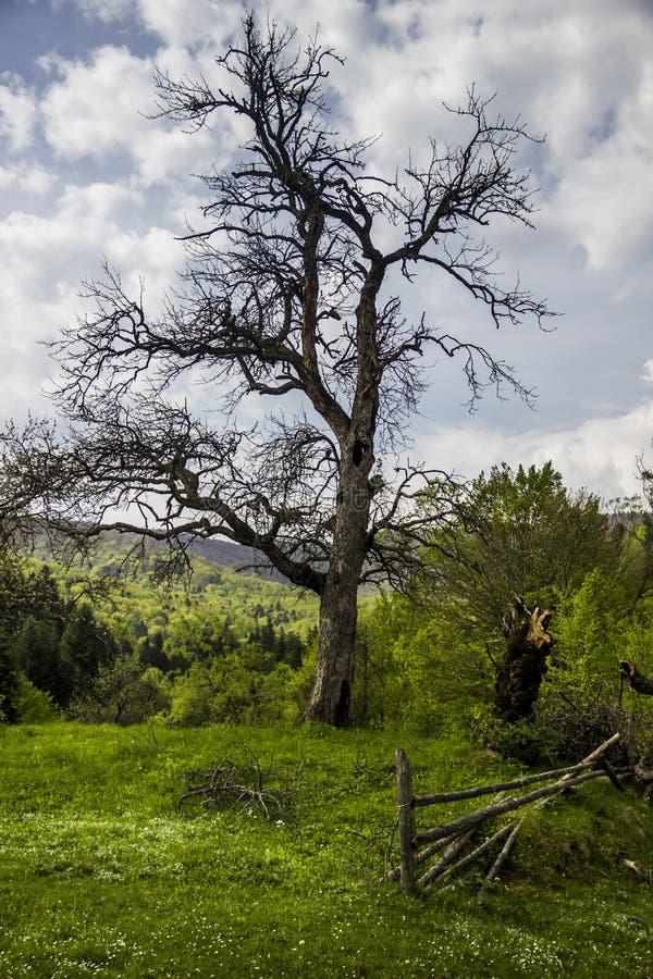Сиротливое сухое дерево стоковое фото