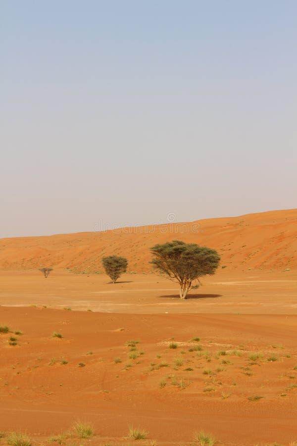 Сиротливые деревья в песках Wahiba в Омане стоковая фотография rf