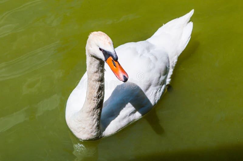 Сиротливый белый лебедь на озере стоковое изображение