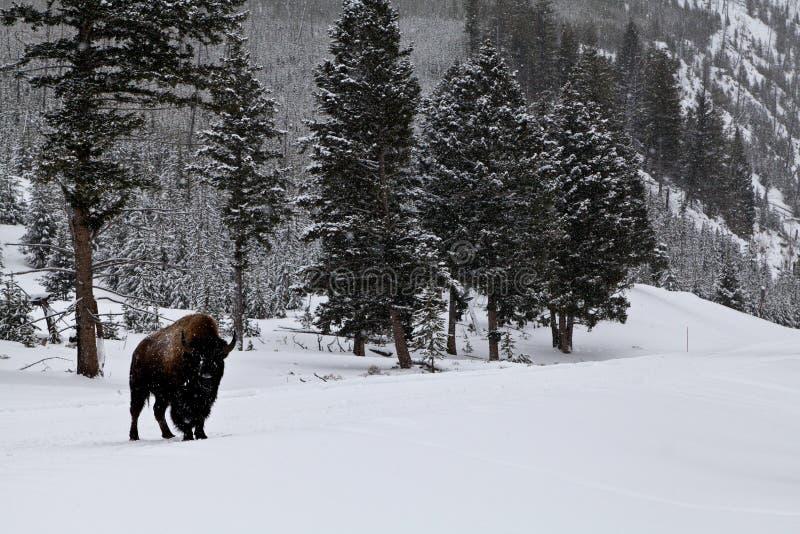 Сиротливый буйвол в горах Монтаны стоковые фото