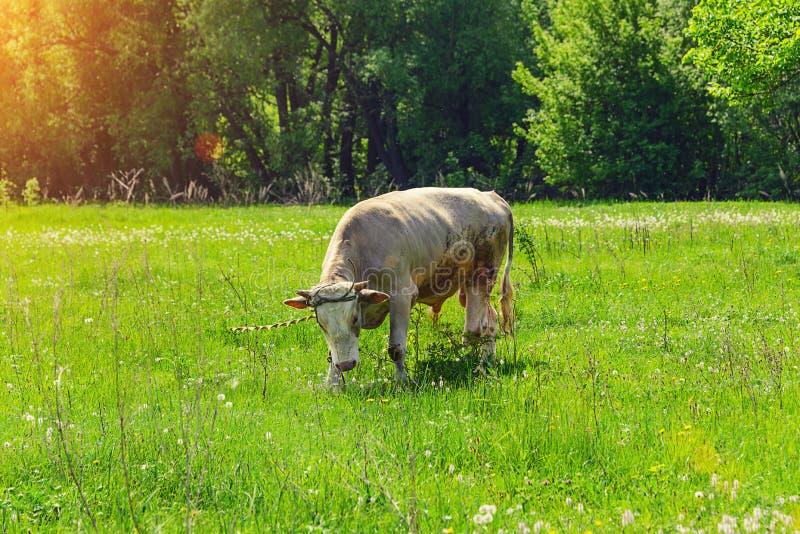 Сиротливый бык, корова пася в луге стоковая фотография rf