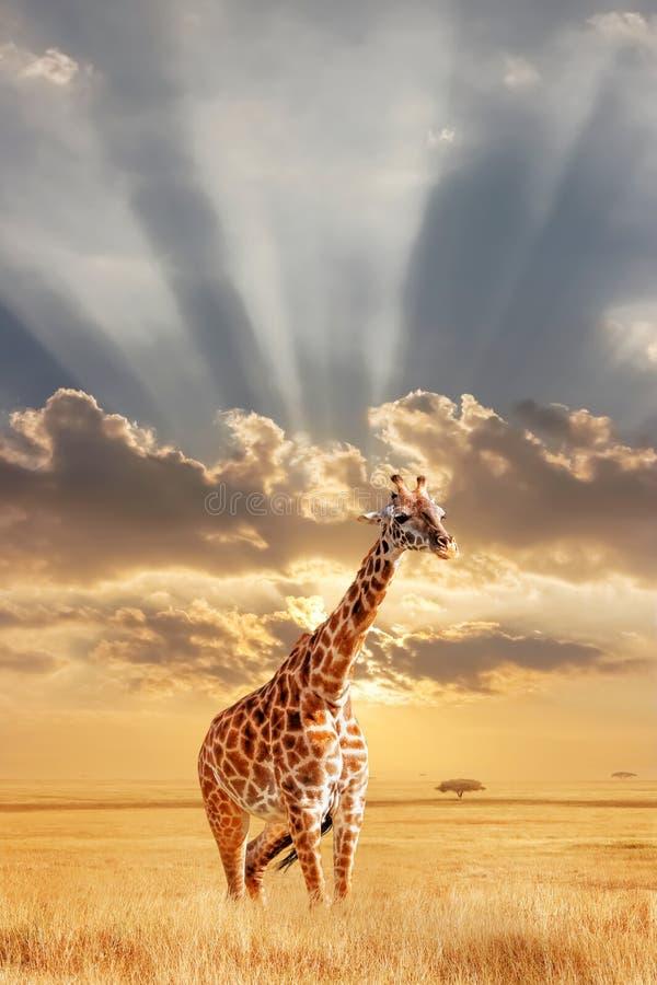 Сиротливый жираф в африканской саванне на заходе солнца Одичалая природа Африки Художническое африканское изображение Открытый ко стоковые изображения