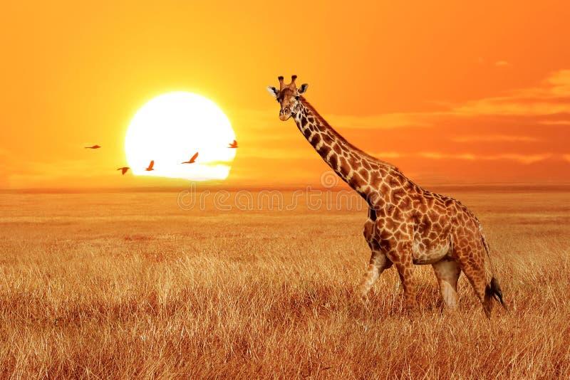 Сиротливый жираф на заходе солнца в национальном парке Serengeti Танзания Дикая природа Африки Африканский художественный ландшаф стоковые фотографии rf
