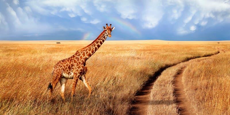 Сиротливый красивый жираф в горячей африканской саванне против голубого неба с радугой Национальный парк Serengeti Танзания стоковое фото rf