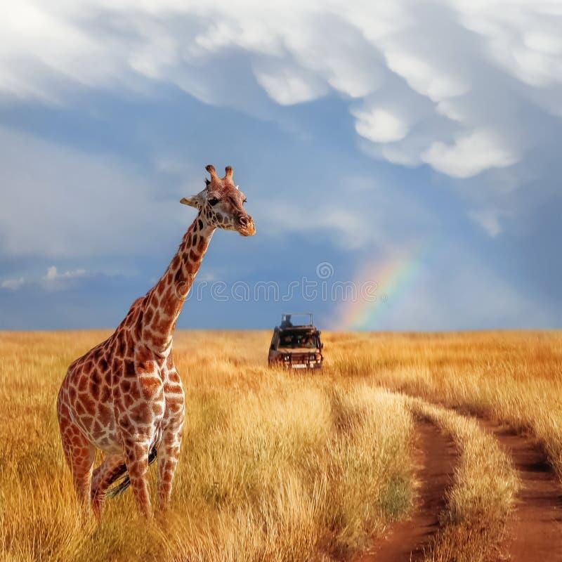 Сиротливый красивый жираф в горячей африканской саванне против голубого неба с радугой Национальный парк Serengeti Танзания стоковая фотография