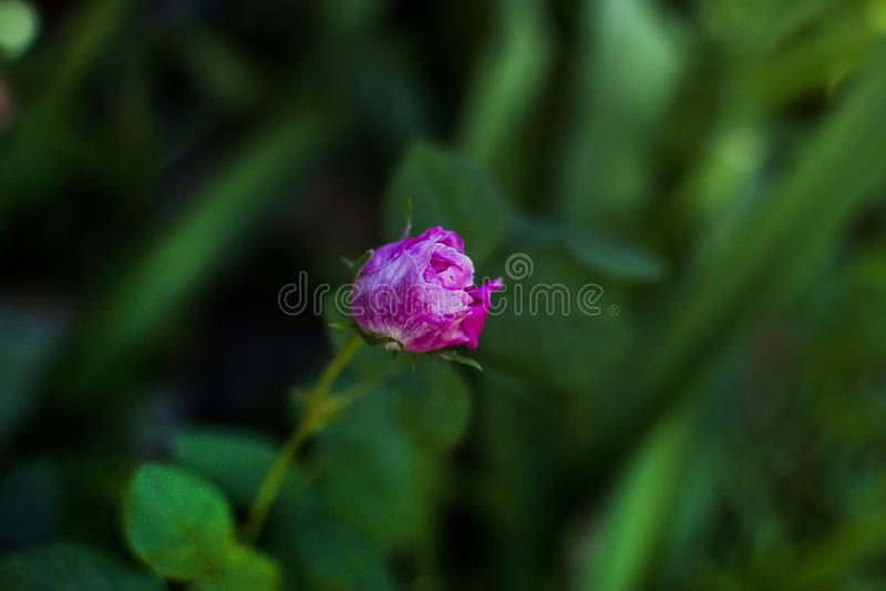 Сиротливый красивый цветок в саде стоковое фото rf