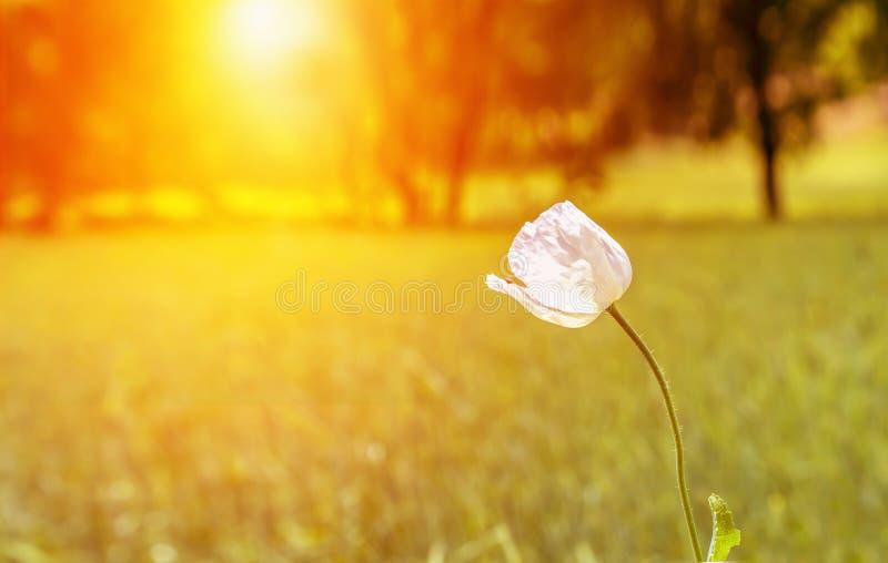 Сиротливый опиумный мак с белыми цветками в заходе солнца стоковая фотография