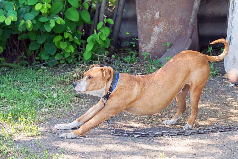 Сиротливый питбуль ждет предпринимателя на улице стоковое фото rf