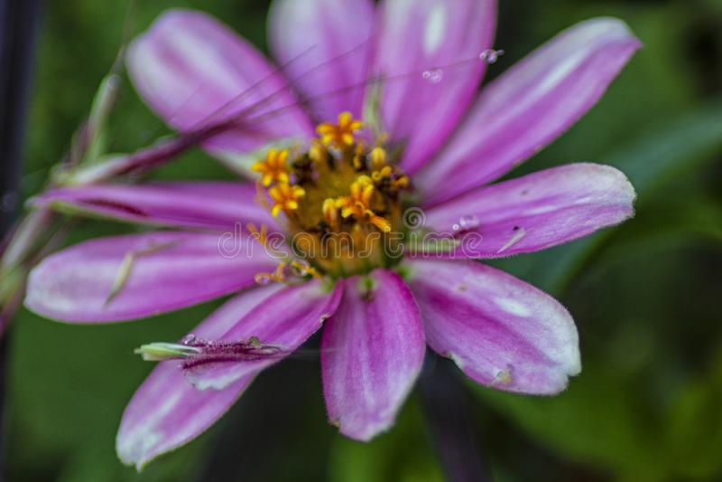 Сиротливый пурпурный цветок в садах стоковая фотография rf