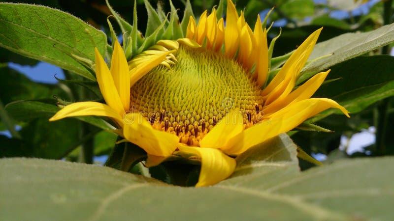Сиротливый солнцецвет стоковые фотографии rf