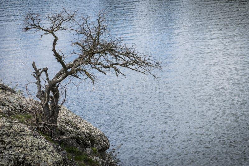 Сиротливый сухой меньшее дерево на скалистом речном береге стоковые изображения rf