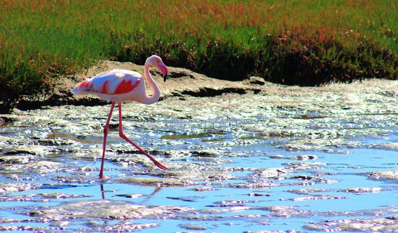 Сиротливый фламинго идет через лагуну стоковая фотография rf