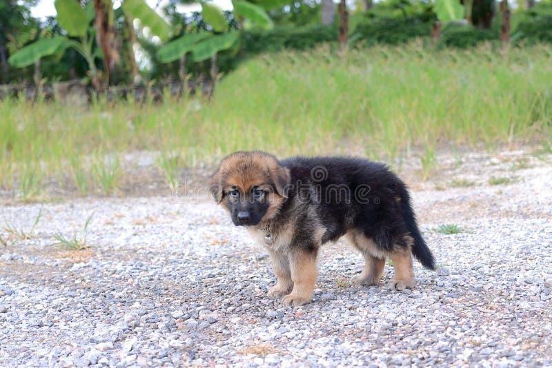 Сиротливый щенок немецкой овчарки на доме outdoors стоковая фотография rf