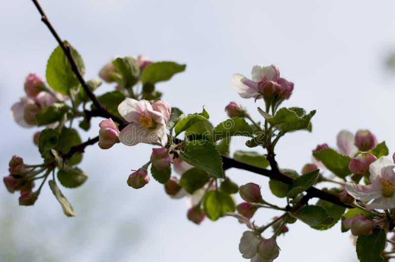 Сиротливая ветвь blossoming яблони стоковая фотография rf