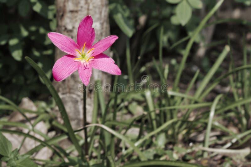 Сиротливая лилия стоковое фото rf